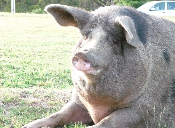Croakey's very own in-house porker, Petal