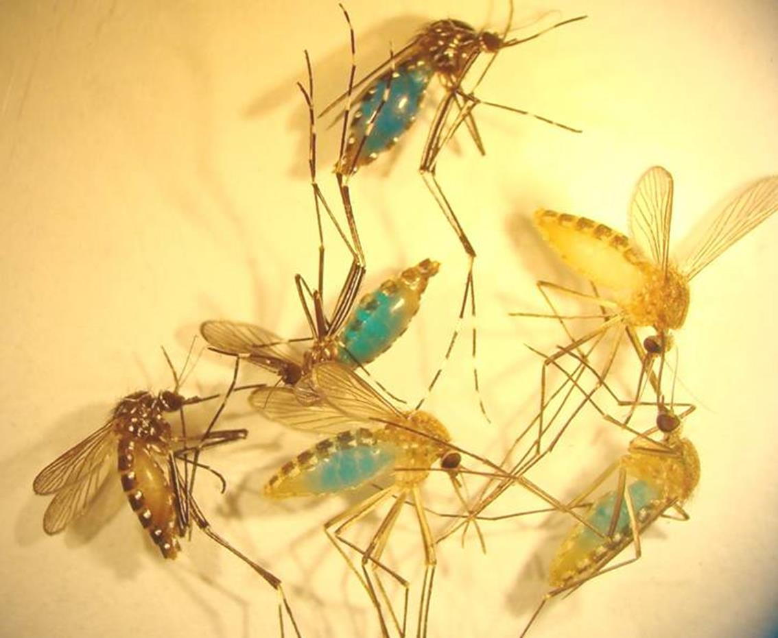 The trapped mosquitoes turn blue because of a dye mixed into the honey as part of the testing process. Photo courtesy of Dr Andrew van den Hurk.
