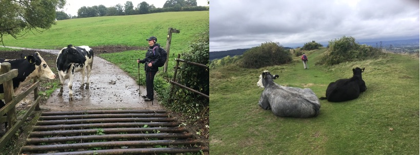 Bovine encounters - just one of the many charms of walking the Cotswold Way