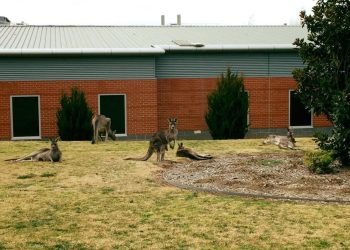 Orange, NSW. Never a dull moment on hospital grounds